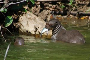 giant river otters (Pteronura Brasiliensis)