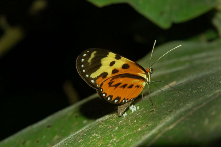 Butterflies of Chontachaka