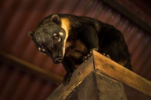 Coati in our Chontachaka lodge