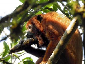 Howler monkey of Chontachaka Cusco Peru